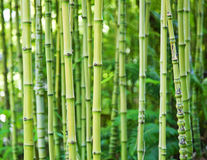 Green bamboo nature backgrounds. Exotic lush green bamboo background Royalty Free Stock Images