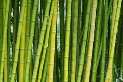 Green bamboo nature backgrounds. Exotic lush green bamboo background Royalty Free Stock Photos