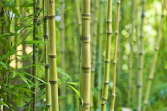 Green bamboo nature backgrounds. Exotic lush green bamboo background Stock Photography