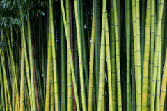 Green bamboo nature backgrounds. Exotic lush green bamboo background Stock Photos