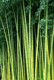 Green bamboo nature backgrounds. Exotic lush green bamboo background Stock Image
