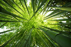 Green bamboo nature backgrounds. Looking up at exotic lush green bamboo tree canopy Royalty Free Stock Photo