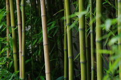 Green bamboo outside a wall Royalty Free Stock Images