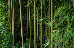 Green bamboo outside a wall Stock Photo