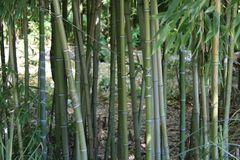 Green bamboo plants Stock Image