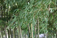 Green bamboo plants Royalty Free Stock Images