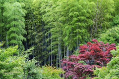 Green bamboo and red acer. Intensely red acer growing in the midst of green bamboo forest Royalty Free Stock Photos