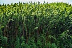Bamboo at the road to hana maui hawaii Stock Photography