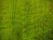 Green Bamboo in Springtime Stock Photos