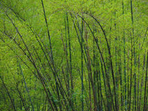 Green Bamboo in Springtime Royalty Free Stock Photos