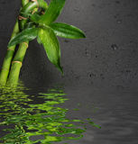 Green bamboo sprout on a black Royalty Free Stock Photo