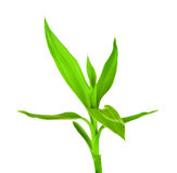 Green Bamboo Sprout Stock Photo