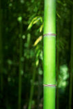 Green Bamboo Stalk. With blurred foliage background Royalty Free Stock Photography