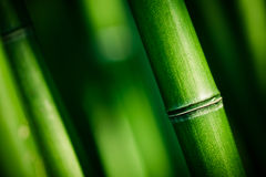Green bamboo stems Stock Images