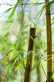 Asian Bamboo forest with sunlight Royalty Free Stock Photography