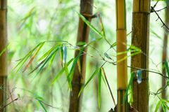 Asian Bamboo forest with sunlight Royalty Free Stock Images