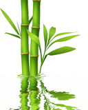 Green bamboo stems and leaves with reflection. Royalty Free Stock Photo