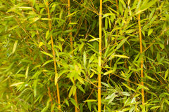 Green bamboo stems. Wall of green bamboo stems as a relaxing and peaceful background Royalty Free Stock Photography