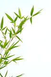 Green bamboo in summer Stock Photography