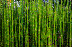 Green bamboo texture in nature, Strasbourg royalty free stock image