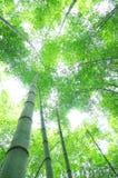 Green bamboo tree Royalty Free Stock Image