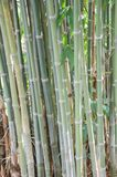 Green bamboo tree Royalty Free Stock Photography