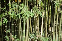 Green bamboo tree. In nature garden Stock Images