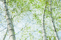 Green bamboo tree trunks in the forest Royalty Free Stock Image