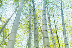 Green bamboo tree trunks in the forest Royalty Free Stock Photos