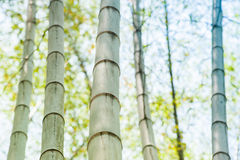 Green bamboo tree trunks in the forest Stock Photography