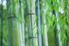 Green bamboo tree trunks in  grass Stock Images