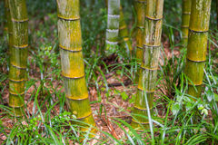 Green bamboo tree trunks in  grass Stock Photo