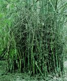 Green Bamboo Tree. In the wild Royalty Free Stock Photography