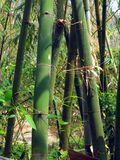 Green Bamboo Trees. In an Asian forest Stock Images