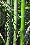 Green bamboo trees Stock Photos