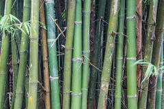 Green bamboo trees for background Stock Photo