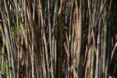 Green bamboo trees.brown and trunks of bamboo forest. Stock Photos