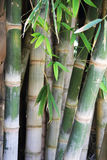 Green bamboo trees Stock Photography