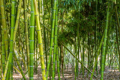 Green Bamboo Trees Royalty Free Stock Photos