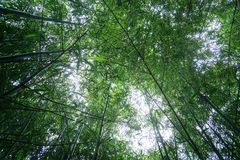 Green bamboo forest. Green bamboo trees forest thailand stock images