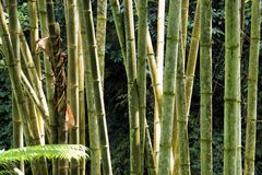 Green Bamboo in tropical jungle. Royalty Free Stock Photo