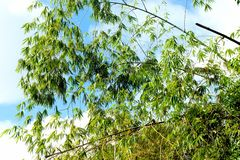 Green Bamboo in tropical jungle. Royalty Free Stock Photos