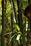Green bamboo trunks.  Stock Images