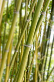 Green bamboo trunks Royalty Free Stock Photos