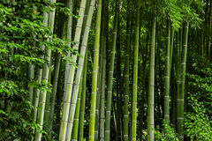 Green bamboo trunks. Royalty Free Stock Photography