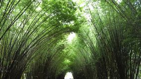 A green bamboo tunnel. Asian atmosphere reveal purity, calm and fresh Royalty Free Stock Images