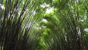 A green bamboo tunnel. Asian atmosphere reveal purity, calm and fresh Stock Images