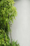 Green bamboo and wall stock photography