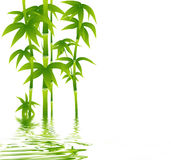 Green bamboo on white background Stock Photo