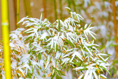 Green bamboo in the white snow Stock Photography